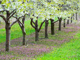 Cherry Tree Orchard (Prunus)  Michigan  USA