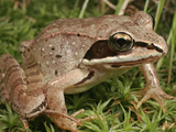Wood Frog (Rana Sylvatica)  Eastern and Northern North America