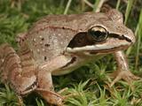 Wood Frog (Rana Sylvatica)  Eastern and Northern North America