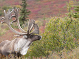 Caribou Bull (Rangifer Tarandus) with Velvet Antlers  Denali National Park  Alaska