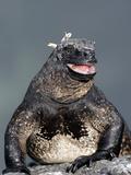Marine Iguana (Amblyrhynchus Cristatus) with Mouth Open  Galapagos