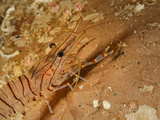 Common Prawn (Palaemon Serratus)  Mediterranean Sea  San Pietro Island  Sardinia