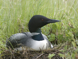 Common Loon on Nest (Gavia Immer)  Alaska  USA