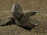 Hatchling Olive Ridley Sea Turtle (Lepidochelys Olivacea) Emerges Out of the Nest