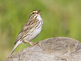 Savannah Sparrow Vocalizing (Passerculus Sandwichensis)  Alaska  USA