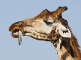 Rothchild's Giraffe (Giraffa Camelopardalis Rothschildi) Trying to Remove Thorn from Tongue  Kenya