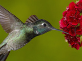 Magnificent Hummingbird (Eugenes Fulgens) Juvenile Feeding on a Red Garden Flower  Arizona  USA