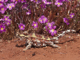 Thorny Devil (Moloch Horridus)  Western Australia