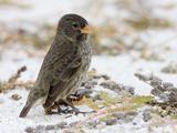 Small Ground Finch Female on Beach (Geospiza Fuliginosa)  Galapagos Islands