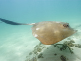 Cowtail Stingray Swimming (Pastinachus Sephen)  Exmouth  Western Australia  Indian Ocean