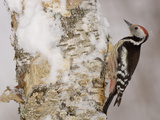Middle Spotted Woodpecker (Dendrocopos Medius) on a Snowy Tree Trunk  France