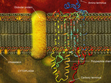 Biomedical Illustration of the Lipid Bilayer Cell Membrane