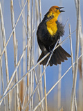 Yellow-Headed Blackbird (Xanthocephalus Xanthocephalus)  Western North America