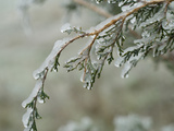 Freezing Rain Coats a Tree in a Layer of Ice in Early Spring in Colorado