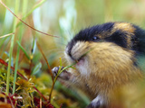 Norway Lemming (Lemmus Lemmus) Sweden it Is the Only Vertebrate Species Endemic to the Region
