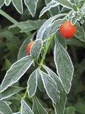 Frost on a Jerusalem Cherry Plant