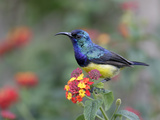 Variable Sunbird Male on Flowers (Cinnyris Venustus)  Kenya
