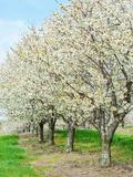 Cherry Tree Orchard (Prunus)  Michigan  USA