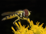 Hoverfly (Toxomerus)  New Hampshire