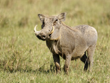 Warthog (Phacochoerus Africanus)  Kenya