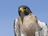 Peregrine Falcon (Falco Peregrinus)  San Juan Mountains  New Mexico