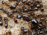 Queen and Workers Ants (Aphaenogaster Occidentalis)