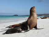 Galapagos Sea Lion (Zalophus Wollebacki) Adult and Pup  Galapagos Islands
