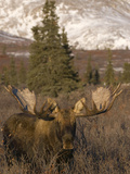 Bull Moose in Early Winter  Post-Rut (Alces Alces)  Denali National Park  Alaska  USA
