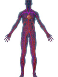 Human Male Figure Showing the Circulatory or Cardiovascular System