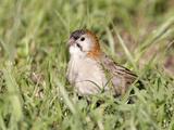 Speckle-Fronted Weaver (Sporopipes Frontalis)  Kenya