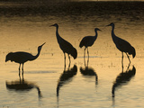 Sandhill Cranes at Dusk (Grus Canadensis)  Bosque Del Apache  New Mexico  USA