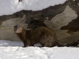 American Mink (Mustela Vison) in Snow
