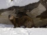 American Mink (Mustela Vison) in Snow
