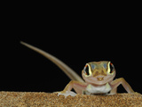 Web-Footed Gecko (Palmatogecko Rangei) on a Sand Dune in the Namib Desert  Namibia