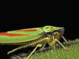 Leafhopper (Graphocephala Picta)  Order Hemiptera  Family Cicadellidae  New Hampshire  USA
