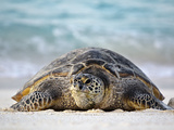 Green Sea Turtle on Beach (Chelonia Mydas)  Midway Atoll
