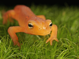 Red Eft Crawling on Moss (Notophthalmus Viridescens) the Terrestrial Phase of the Eastern Newt