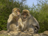 Barbary Macaque (Macaca Sylvanus) Family Group  Captive