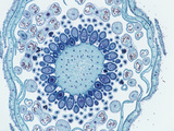 Cross-Section of the Floral Bud Through the Ovary of a Strawberry (Frageria)  LM X4