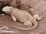 Santa Fe Land Iguana (Conolophus Pallidusus)  Santa Fe Island  Galapagos