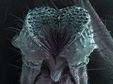 Mouth Parts or Proboscis of the Fruit Fly (Drosophila Melanogaster)  SEM