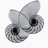 X-Ray of Nautilus Shells