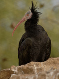 Northern Bald Ibis or Waldrapp (Geronticus Eremita) an Endangered Species  Captivity
