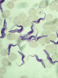 Trypanosoma Rhodesiense Protozoans in Blood  a Pathogen of Trypanosomiasis  LM X500