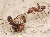 Acromyrmex Striatus Antworkers Cooperate to Bring a Seed Back to their Nest
