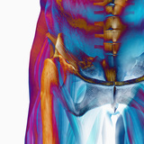 Human Male Hip Showing Bones and Muscles