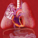 Human Cardiovascular System Illustration