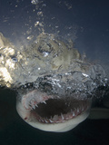 Lemon Shark Head Showing its Sharp Teeth (Negaprion Brevirostris)  Bahamas  Atlantic Ocean