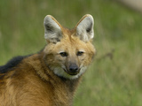 Maned Wolf Head (Chrysocyon Brachyurus)  an Endangered Species  Captive
