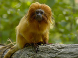Golden Lion Tamarin (Leontopithecus Rosalia Rosalia)  Captive